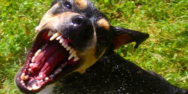Be Wary of Dogs That Show These Signs of Aggression